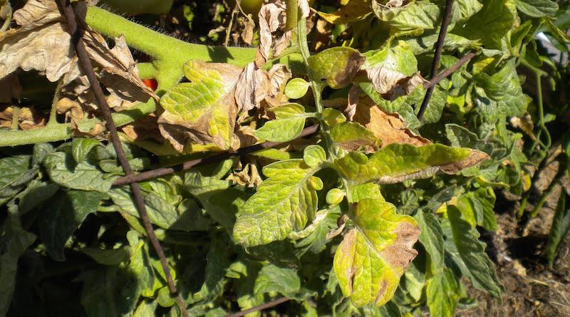 Фузариоз томатов. Увядание листьев.