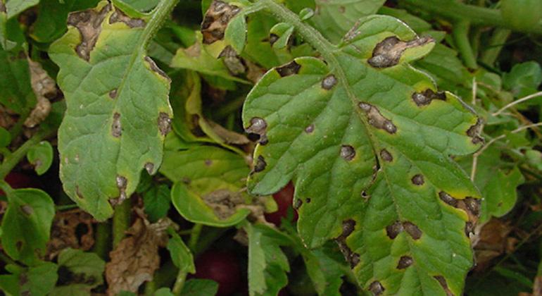 Сухие буро-коричневые округлые пятна с четкими краями. Макроспориоз.