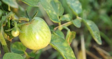Вирус мозаики томатов