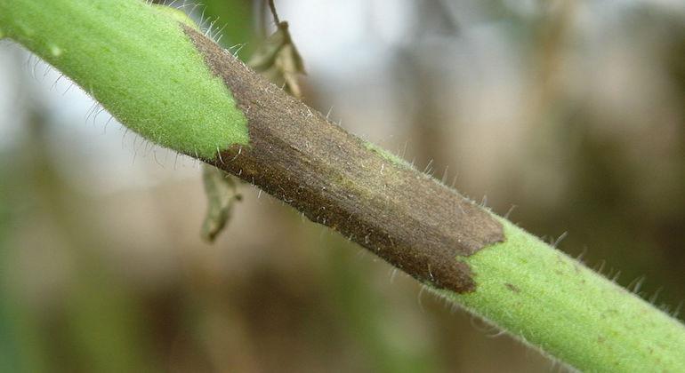 Ветка томата пораженная фитофторозом.