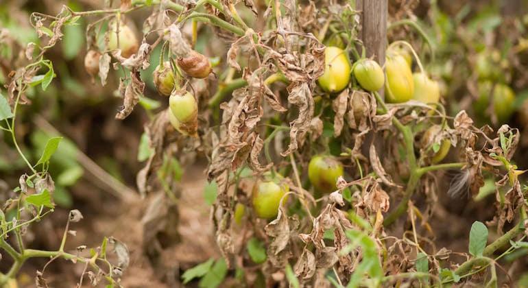 Бурые и скрученные листья томата. Фитофтороз.
