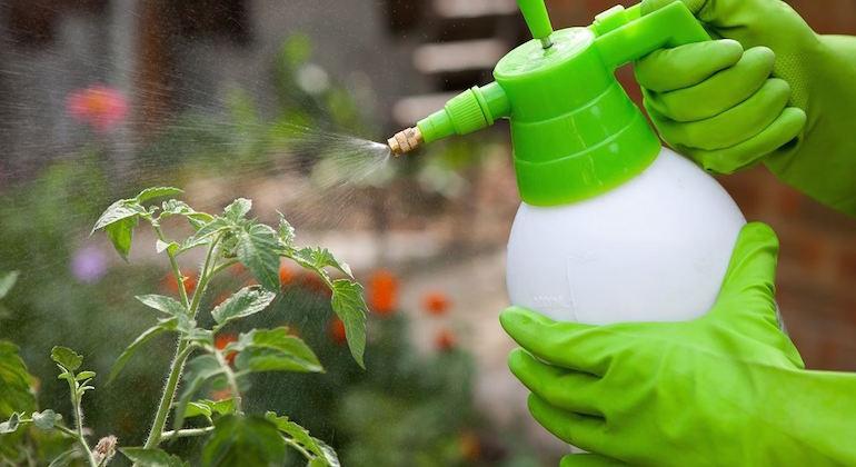 Обработка томатов от фитофтороза профессиональными средствами.