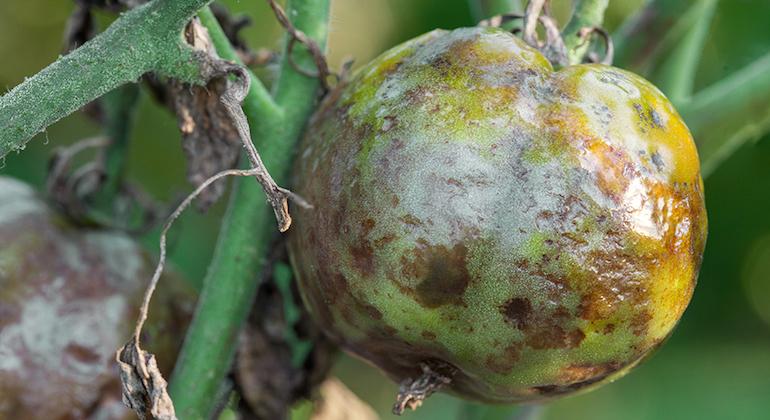 Плод томата зараженного фитофторозом.