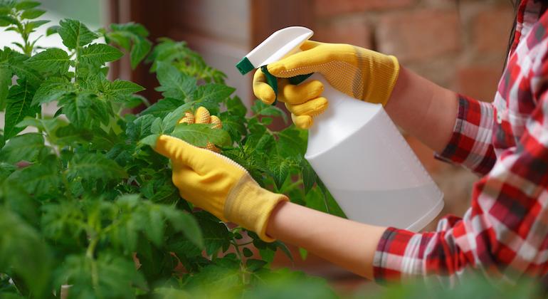 Обработка томатов химикатами-фунгицидами от кладоспориоза томатов.