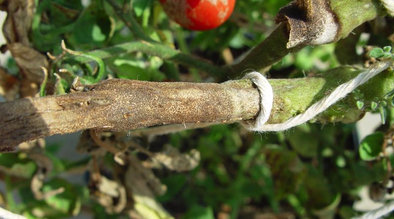 Рак стебля томатов