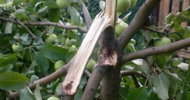 У яблони сломалась большая ветка.