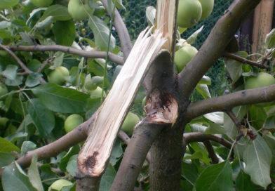 Сломалась ветка у яблони – что делать, как спасти дерево?