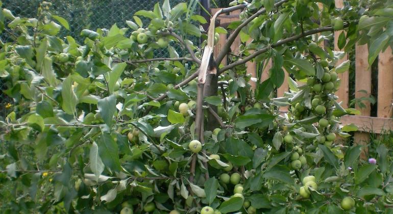 У яблони сломалась ветка с яблоками