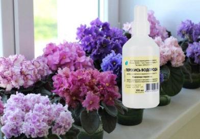Подкормка комнатных цветов перекисью водорода в зимний период