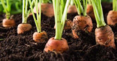 Посадка моркови в лотки из-под яиц