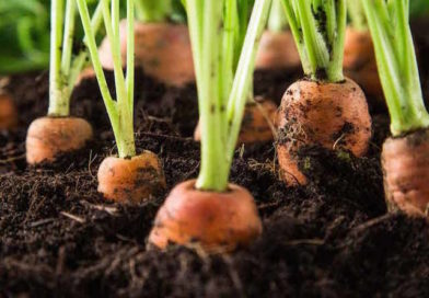 Оригинальный способ выращивания моркови в лотках из-под яиц