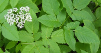 Почему некоторые садоводы специально разводят сныть? Полезные свойства сорняка