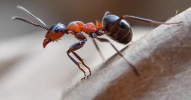 Нашатырный спирт против муравьёв в огороде. Как применять и какого результата ожидать
