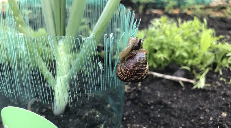 Защита для растений от слизней и улиток